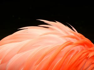 Flamingo Feathers