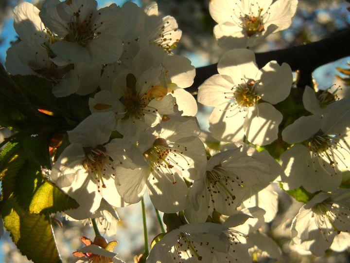 Cherry Blossoms - Perdidos