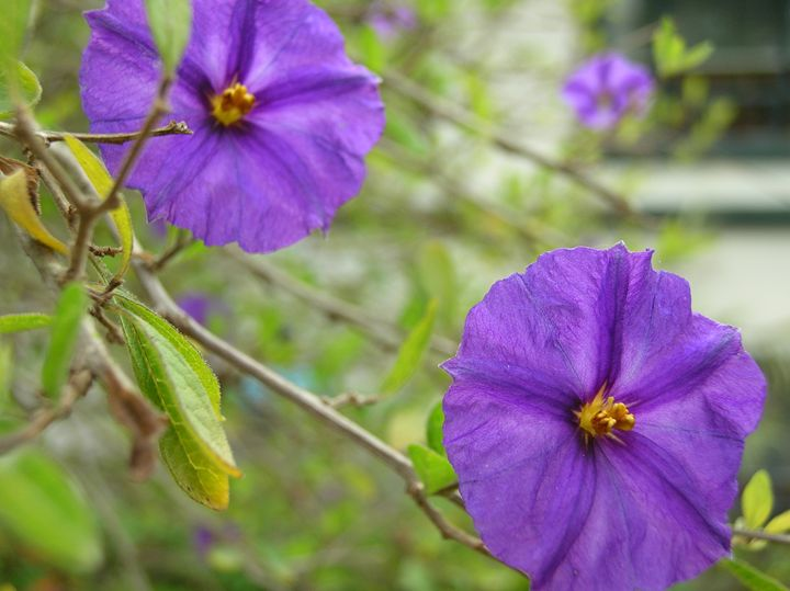 Purple Morning Glory - Art from the Soul