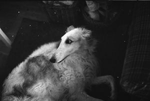 Baba - the b/w Borzoi