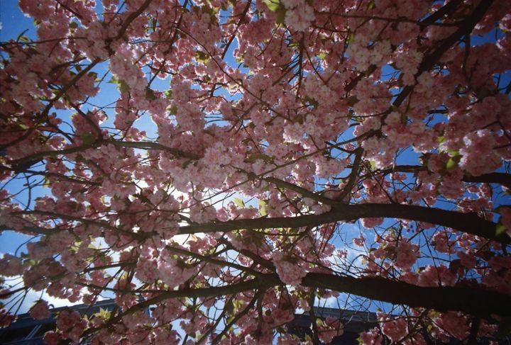 Cherry Blossom Sky - iHateFabian
