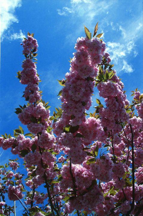 Cherry Blossoms - iHateFabian