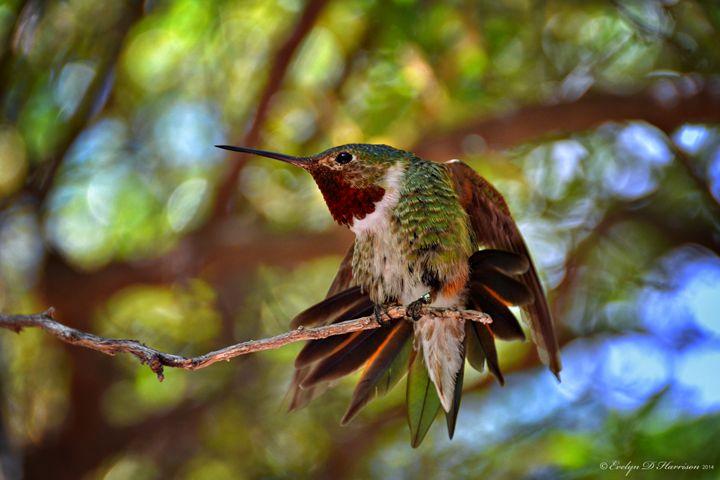 Hummingbird - Morning Stretch (9677) - Pause4Prints