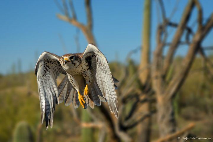 Prairie Falcon in Flight (1769) - Pause4Prints