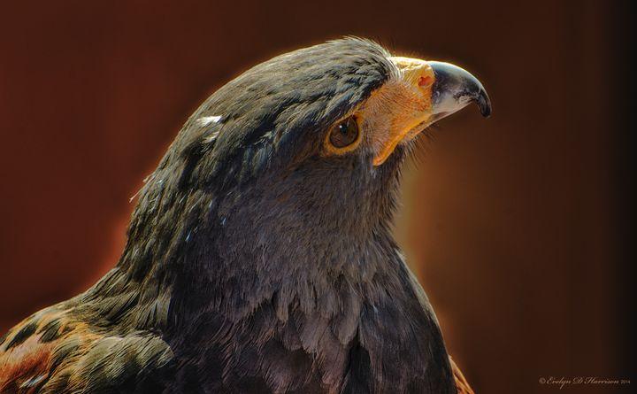 Majestic Harris Hawk (8184) - Pause4Prints