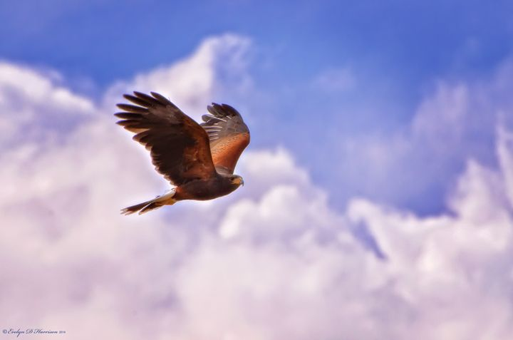 Hawk in the Clouds (5194) - Pause4Prints