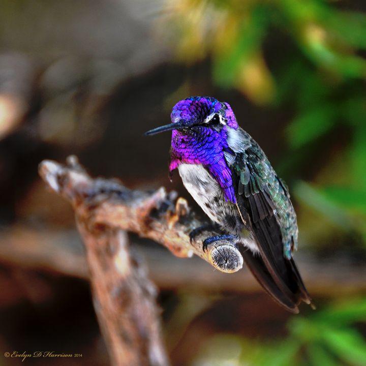 Hummingbird - Male Costa's (9421) - Pause4Prints