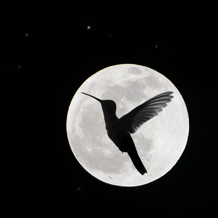 Hummingbird to the Moon (9834) - Pause4Prints