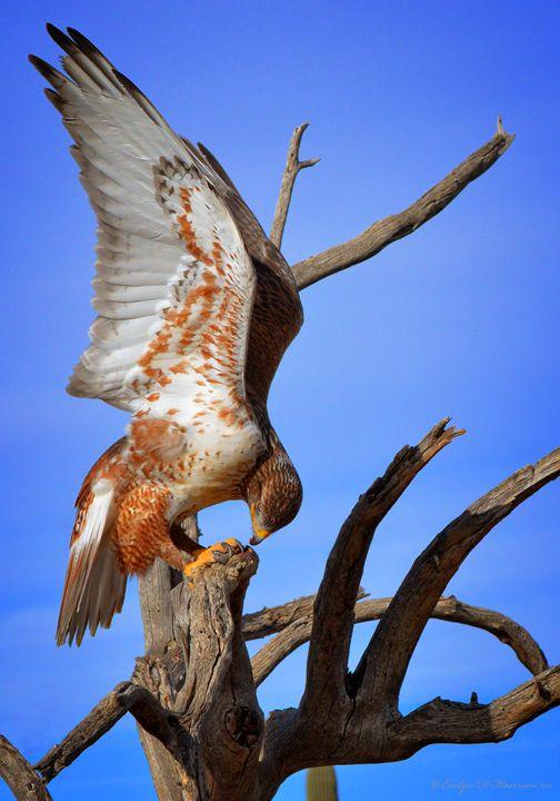 Ferruginous Hawk (2875) - Pause4Prints