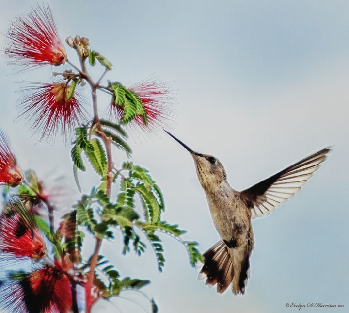 Hummingbird Considers a Meal (9943) - Pause4Prints