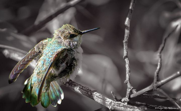 Hummingbird Fledgling (5043) - Pause4Prints