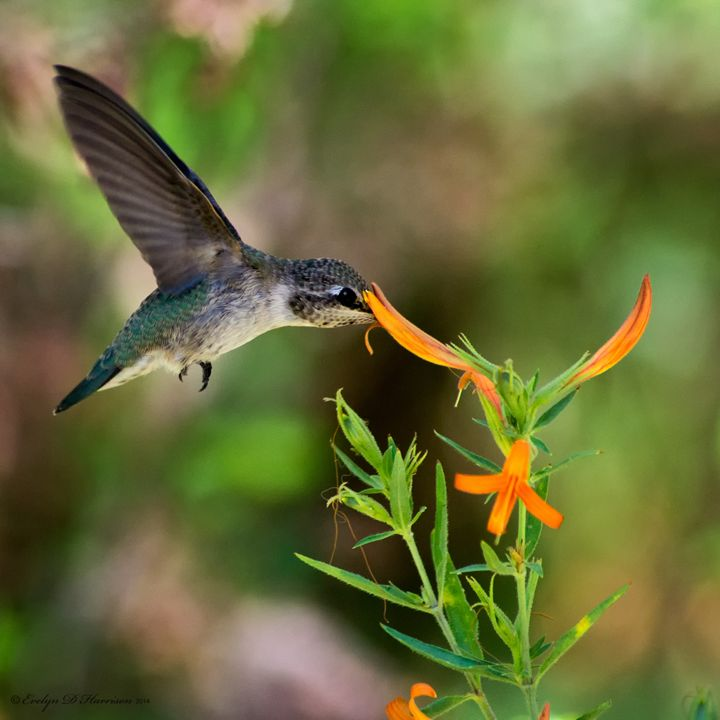 Hummingbird and Honeysuckle (1042) - Pause4Prints
