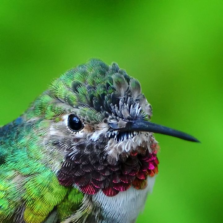 Hummingbird Portrait (2759) - Pause4Prints