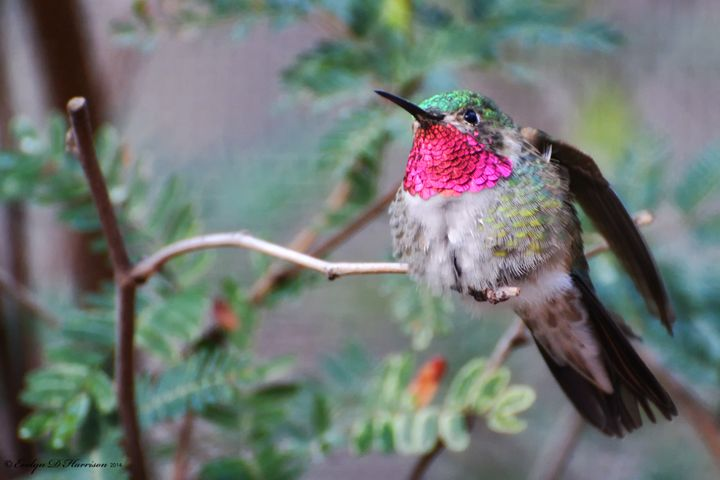 Broad-tailed Hummingbird Male (3930) - Pause4Prints