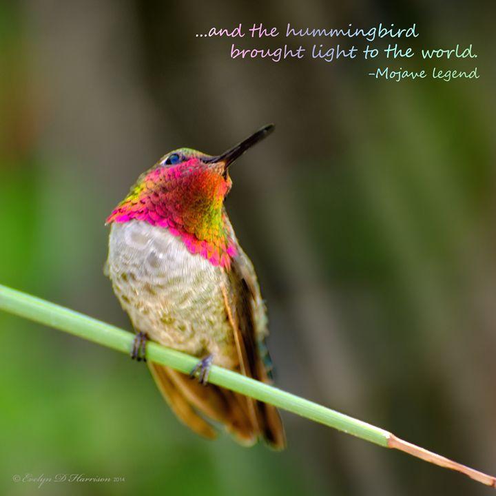 Hummingbird Mojave Legend (9074) - Pause4Prints