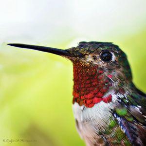 Broadtail Hummingbird Portrait (747)