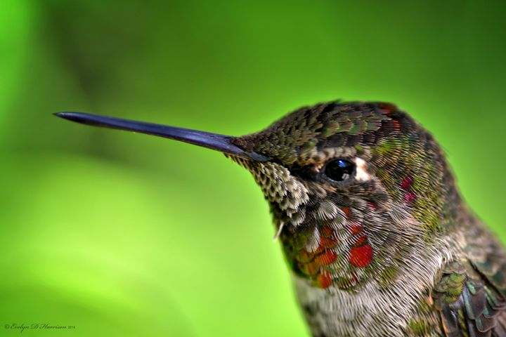 Young Male Anna's Hummingbird (1285) - Pause4Prints