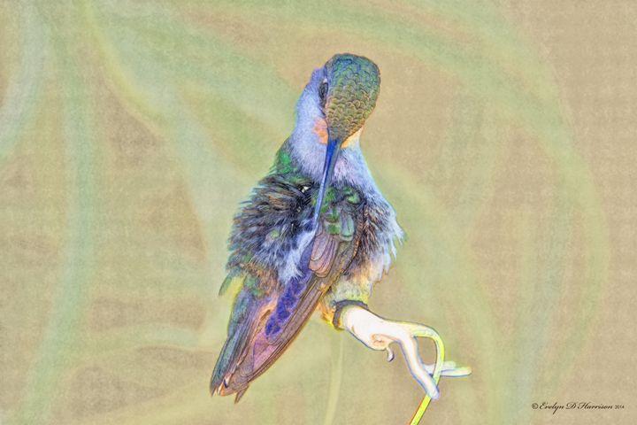 Preening Lady Hummingbird (1136) - Pause4Prints