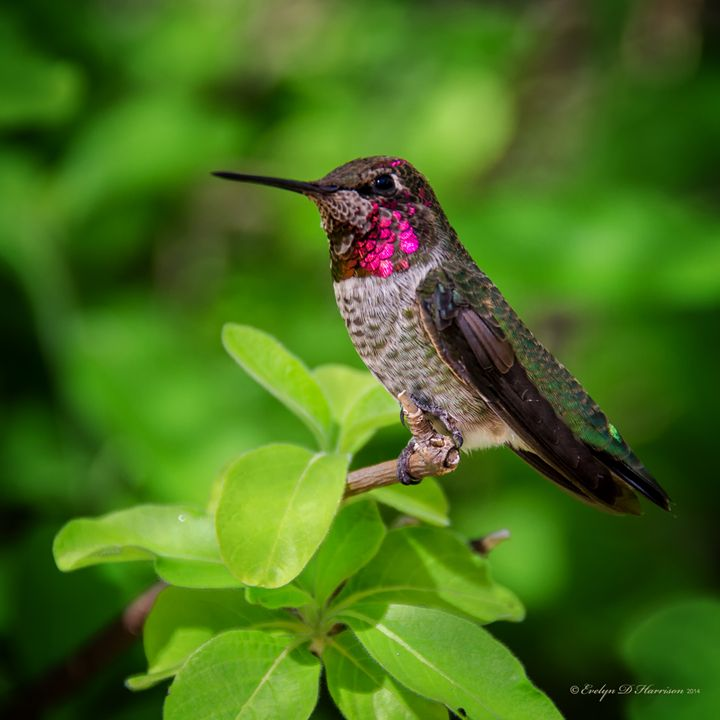 Hummingbird Among Honeysuckle (1175) - Pause4Prints