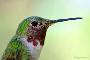 Hummingbird Portrait (1306)