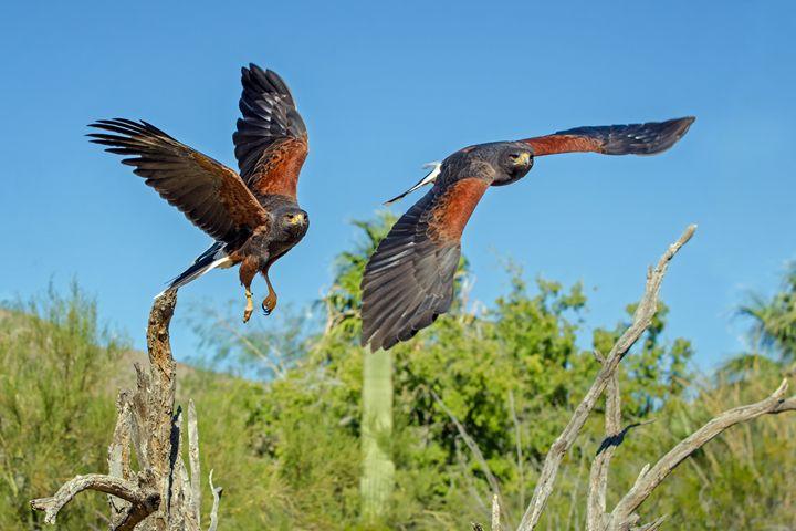 Harris Hawks in Flight (4890) - Pause4Prints