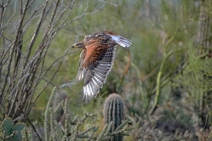 Desert Hawk (5159) - Pause4Prints