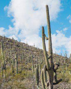 Choir of Cacti