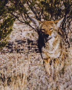 Incognito Coyote