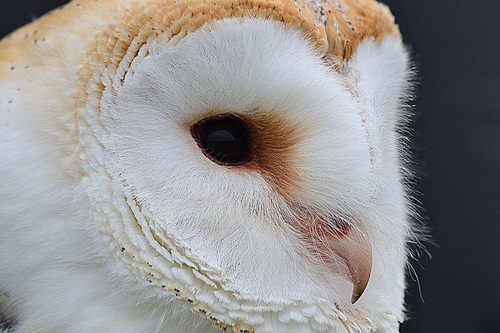 Barn Owl - Toni Sanders