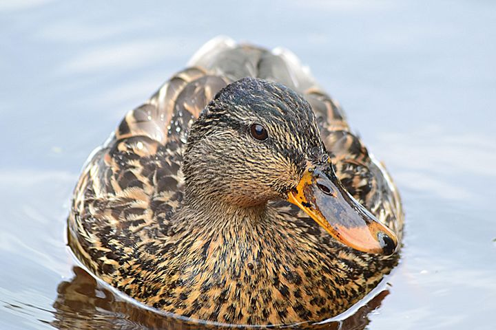 Duck - Toni Sanders