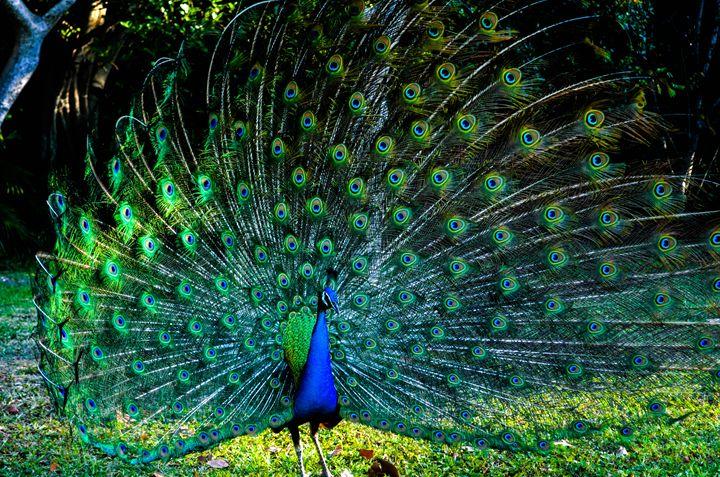 Peacock - Leslie AR