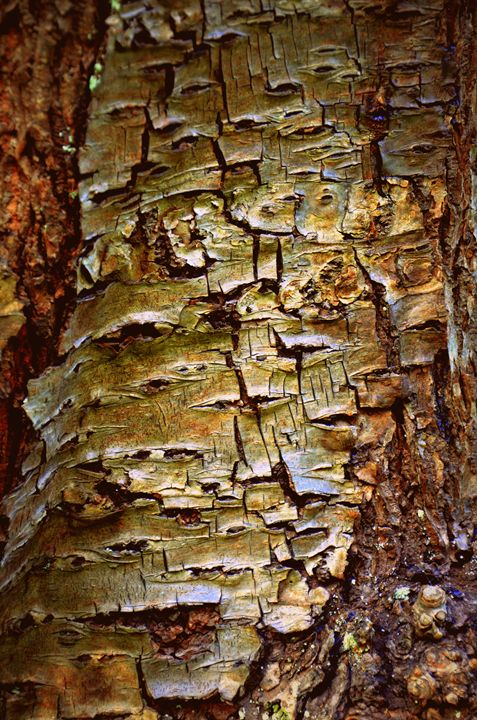 Golden bark - IrènEve Augustyniak