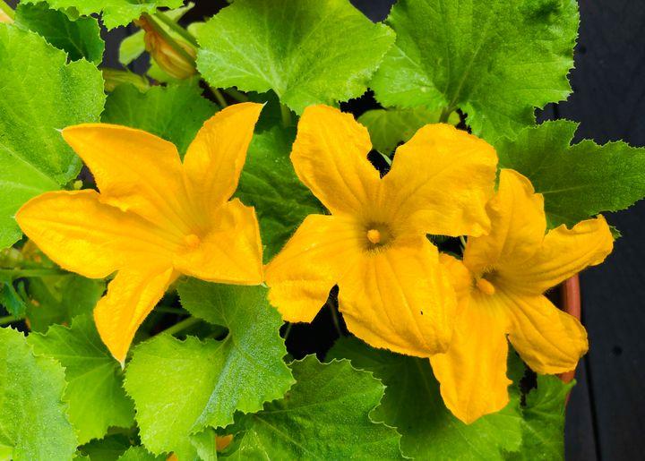 Blossoming Zucchini Flower Garden - Gallery Hope The Art of Loving Kindness