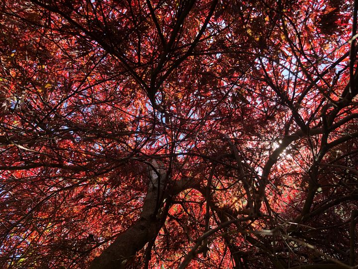 Japanese Maple that Never Gave Up - Gallery Hope The Art of Loving Kindness