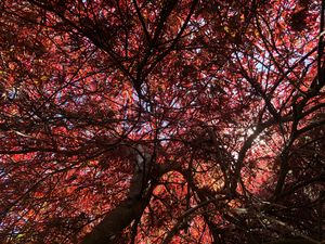 Japanese Maple that Never Gave Up