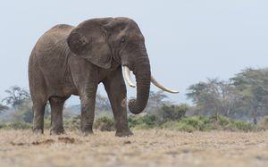 Gentle Tusker