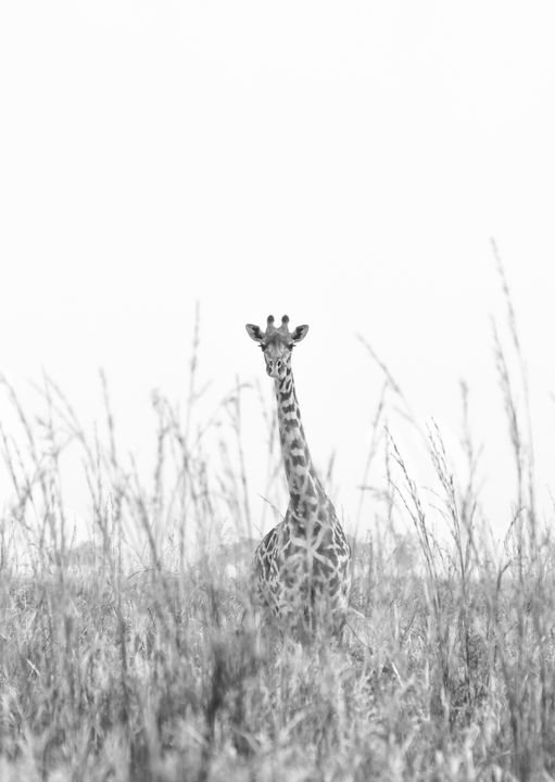Inquisitive Giraffe - CJ Grobler