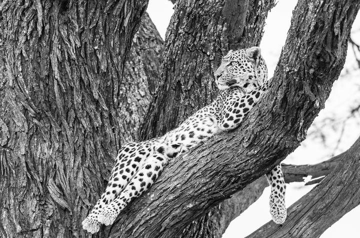 Leopard in Acacia - CJ Grobler