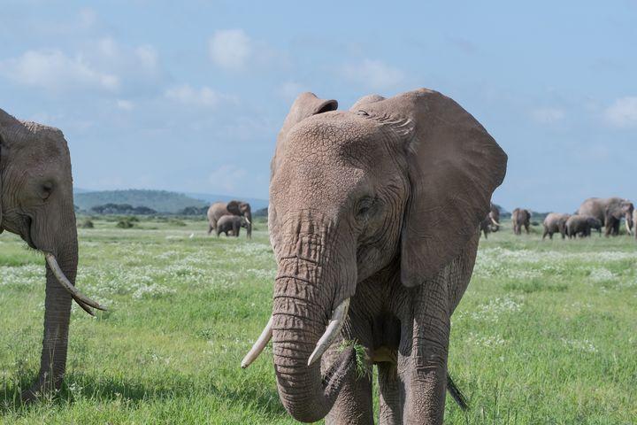 Elephants grazing - CJ Grobler