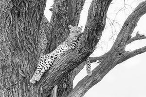 Leopard in tree Black & white