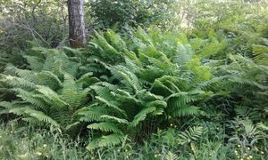 Lush Ferns in Vermont Countryside
