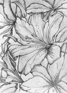 Tiger lily - Victoria