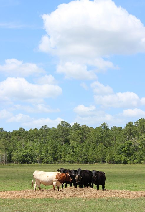 Mooove Over and Share the Hay! - Snap Shots By Sarah