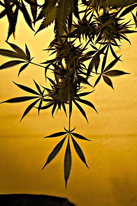 Cannabis Beauty - Wilson Colfax