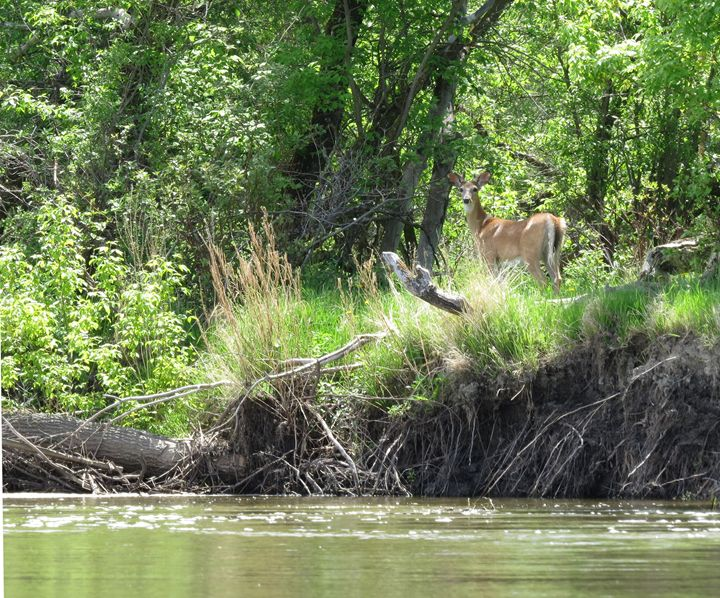 Little buck by the river - Muck-About Fine Art