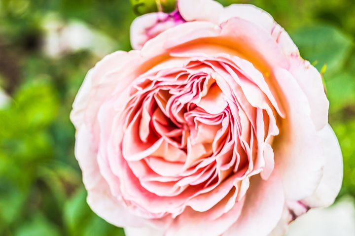 The Light Pink Rose - MJDs Photography