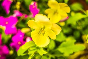 Yellow Pansy - MJDs Photography