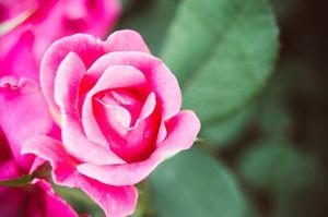 Fade to Pink Rose