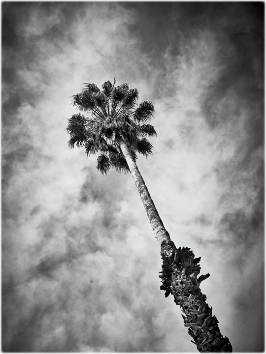 Palm tree - Edward Maesen