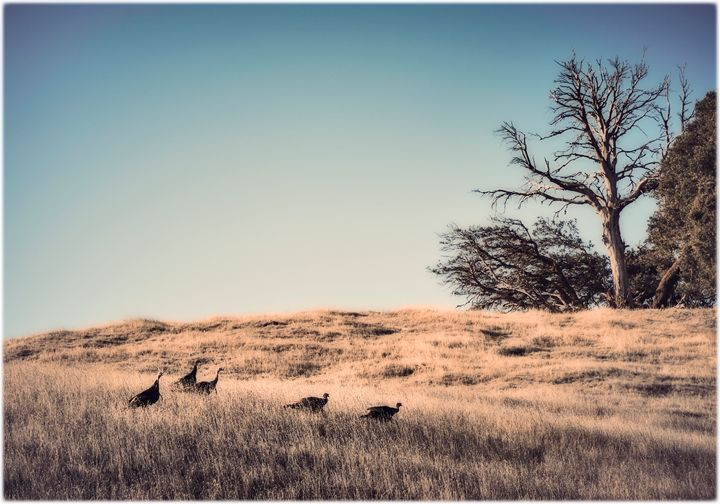 Wild turkeys on Mt Tamalpais - Edward Maesen
